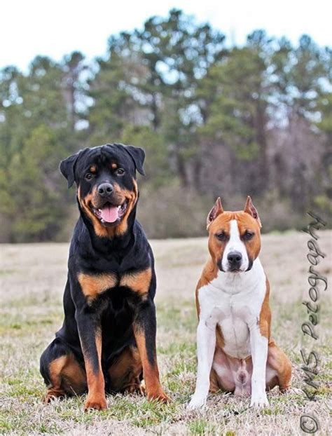 rottweilers and pitbulls rottweiler and pitbull my future combination of pets animals they can melt