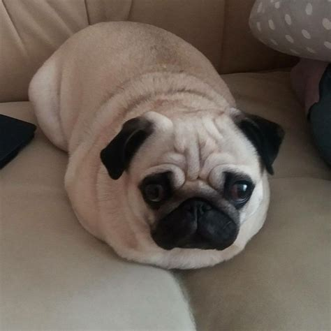 where can i buy pug puppies best 25 pugs ideas only on pug puppies pug