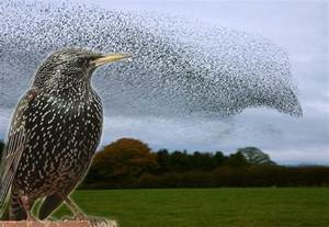 The Meaning Of Barn How Do Starling Flocks Create Those Mesmerizing