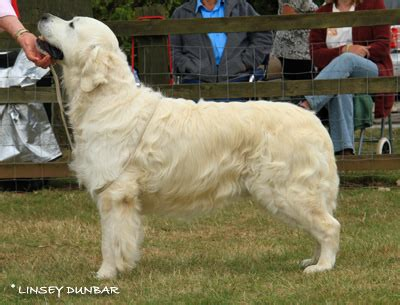 standfast golden retriever pedigree database bramhills