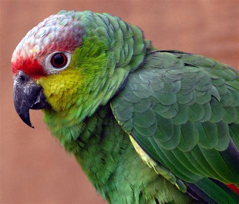 amazon parrot beautiful parrots wallpapers quotes wallpapers