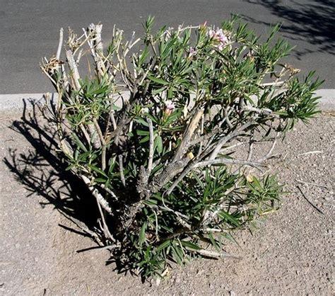 potatura oleandro in vaso oleandri potatura domande e risposte giardino