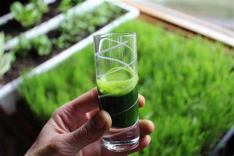 Wellness Wheat Grass wheatgrass santosa wellness center phuket thailand