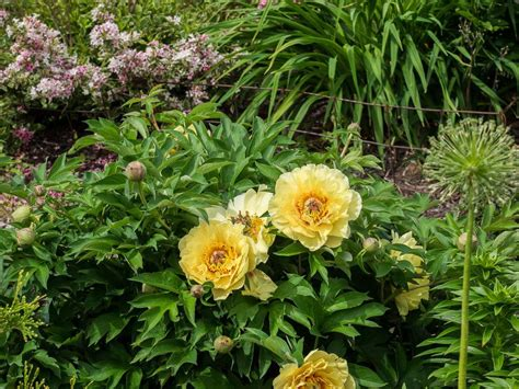 photo of the entire plant of itoh peony paeonia garden
