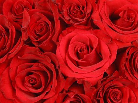 imagenes de narices rojas im 225 genes de rosas rojas como fondos de pantalla