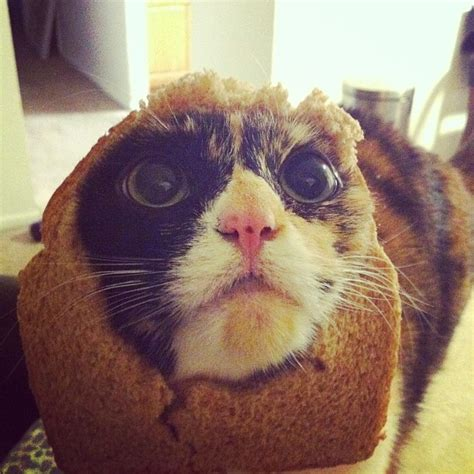 Cat Breading Meme - laurishly helping pets behave cat breading 101