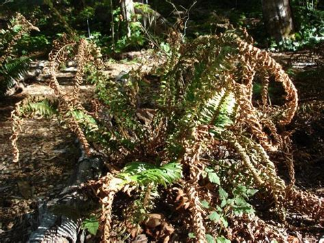 why is my fern dying is my fern dying dying sword fern