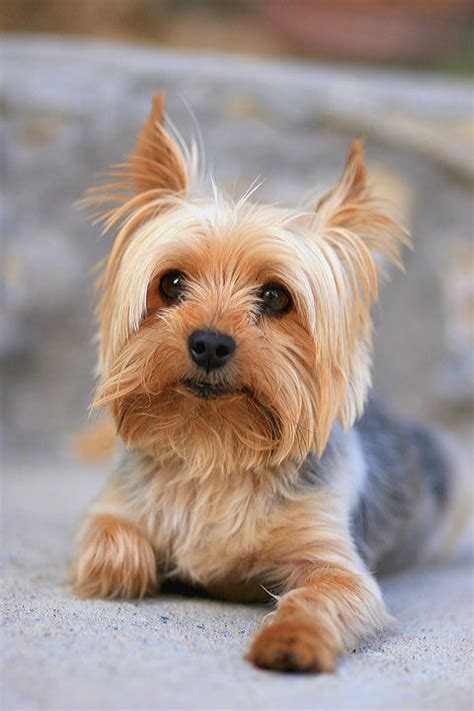 are yorkies hypoallergenic dogs 20 dogs that don t shed much hypoallergenic breeds