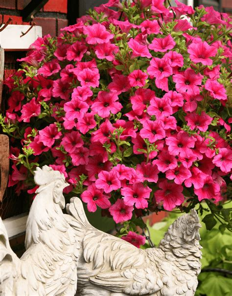 petunia colors surfinia 174 pink the no 1 petunia brand colors your city