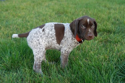 what are bird dogs bird dogs breeds home types