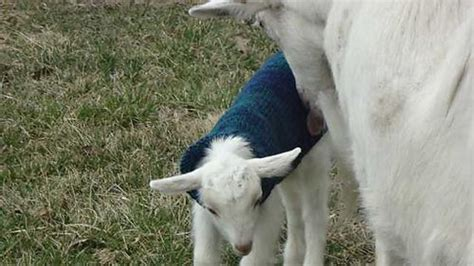 pattern for knitted goat sweater 9 best images about goat coat on pinterest coats baby