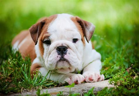 bulldogge puppies bulldog puppies for sale akc puppyfinder