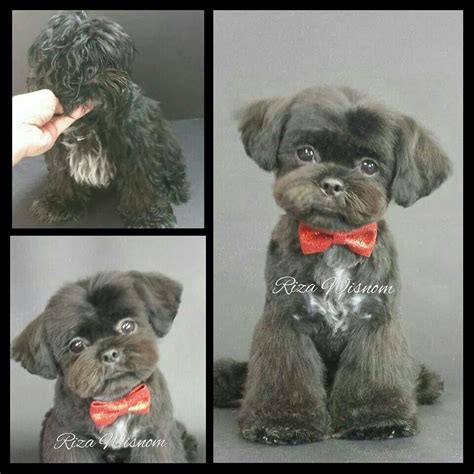 hair cut shih tzu snd poodle 1000 images about shih tzu grooms on pinterest
