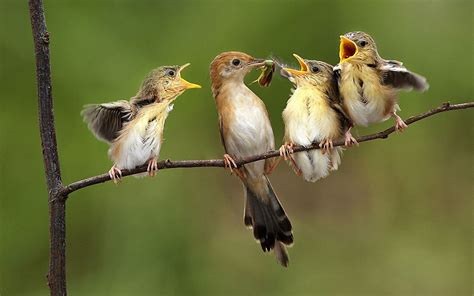 bird feeding the chicks on a branch wallpapers and images
