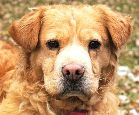 golden retriever puppies pei 17 best ideas about shar pei mix on baby bulldogs bull and pupper doggo