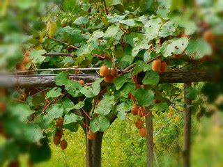 Benih Buah Kiwi cara menanam pohon kiwi di indonesia pakar budidaya