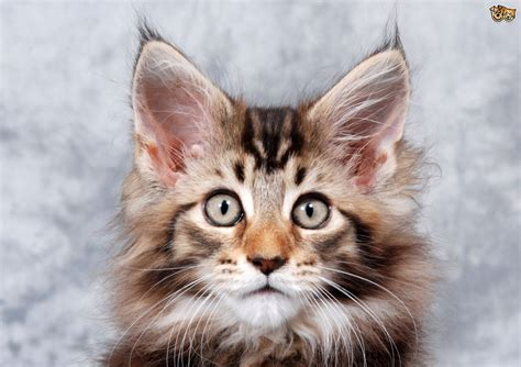 breeds with cats cat breeds with tufted ears pets4homes