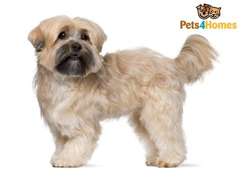 average shih tzu size shih tzu breed information buying advice photos and facts pets4homes