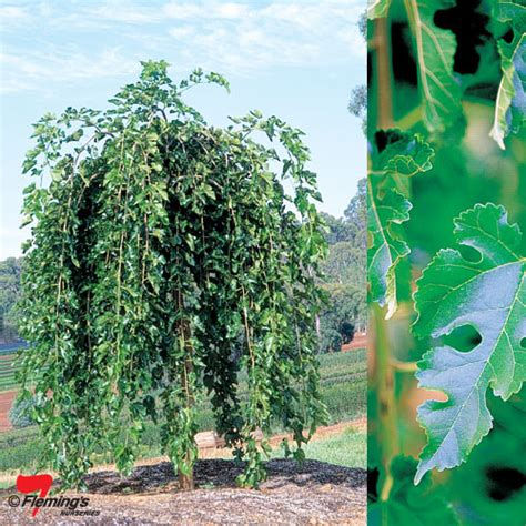 non fruiting mulberry tree weeping mulberry quot chaparral quot perth wa garden