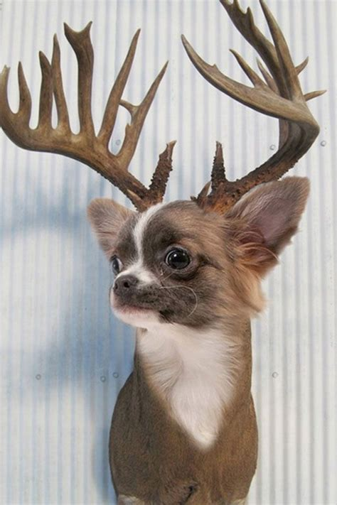 funny reindeer chihuahua holiday dogs holiday dogs