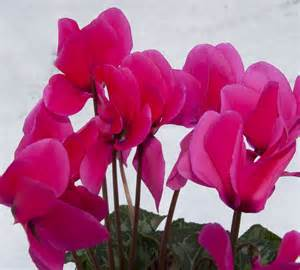 file pink cyclamen 4200359270 jpg