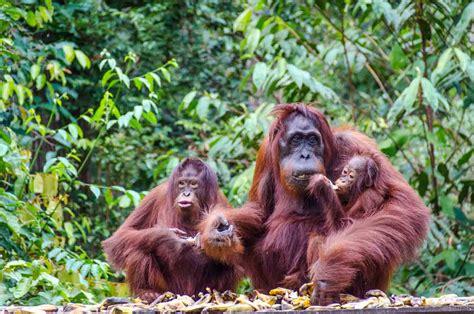 tanjung puting national park boreno orangutan family