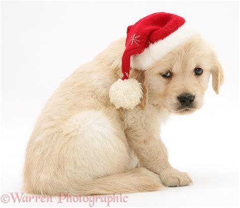golden retriever hat golden retriever pup wearing a santa hat photo wp10687
