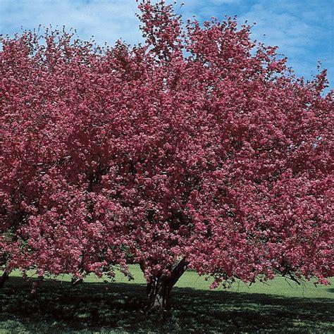 malus almey flowering crabapple flowering trees stark bro s