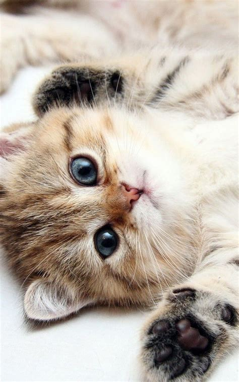 animals iphone   wallpapers cute kitten blue eyes