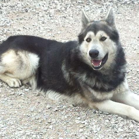 hybrid puppies german shepherd wolf mix