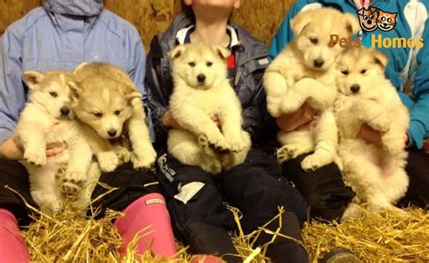 german shepherd cross husky puppies for sale german shepherd cross husky puppies kinross kinross shire pets4homes