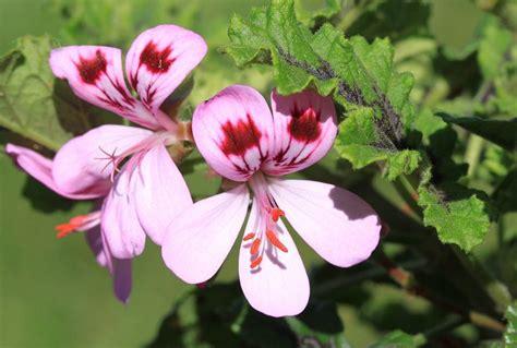 citronella geranium quot mosquito plant quot explored 04 06 11 our flickr
