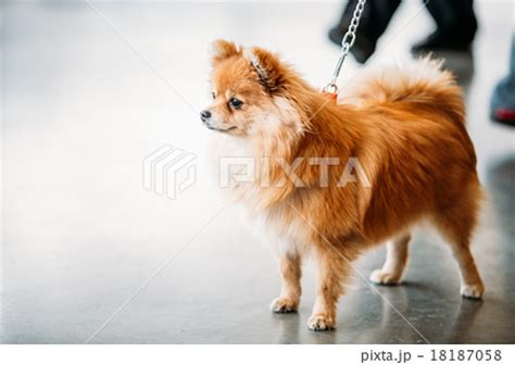 pomeranian illnesses pomeranian illnesses pomeranian illnesses breeds picture