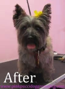 cairn terrier haircut cairn terrier puppies pinterest