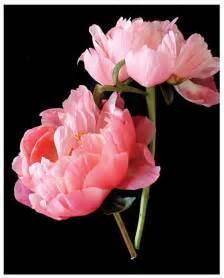 pink peonies two pink peonies i
