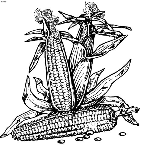 coloring page of indian corn indian corn coloring page coloring home