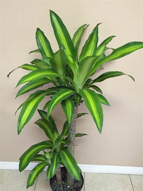dracaena fragrans dracaena fragrans massangeana corn plant plantvine