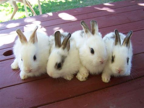 7 Tips On Caring For Baby Bunnies by My Rabbit Baby Rabbit Care Tips What To Look Out For