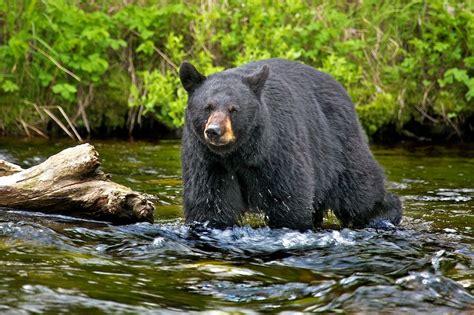 imagenes oso negro banco de im 193 genes oso negro cazando black bear hunting
