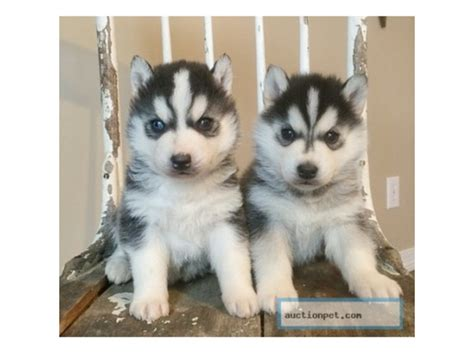 siberian husky puppies for sale in illinois weimaraner weimador siberian husky puppies for adoption animals wyoming illinois