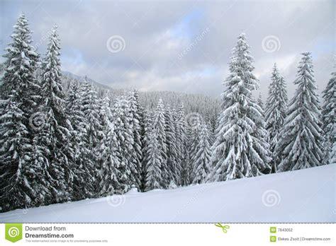 schnee deckte weihnachtswald ab schnee deckte spruce ab