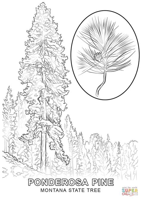 Montana State Tree Coloring Page Free Printable Coloring Montana Coloring Page