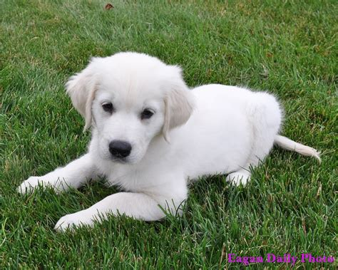 golden retriever breeders pennsylvania white golden retriever puppies for sale in pa dogs in our photo