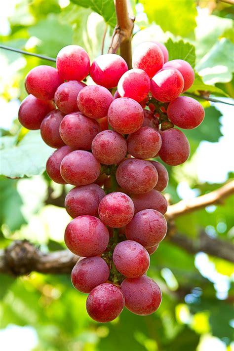 vite uva da tavola viti in vaso vite da tavola globe