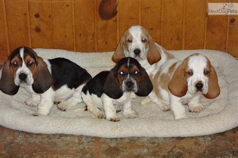 miniature basset hound puppies for sale in basset hound puppy for sale near des moines iowa 9330339c 9391
