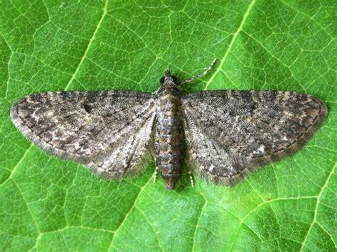 grey pug moth grey pug eupithecia subfuscata norfolk moths the macro and micro moths of norfolk