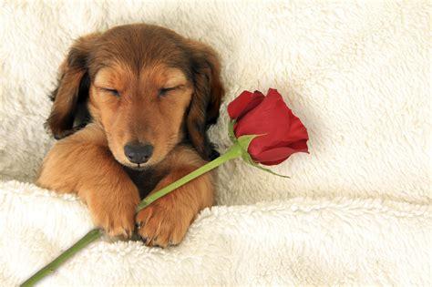 puppy valentines image gallery happy puppy