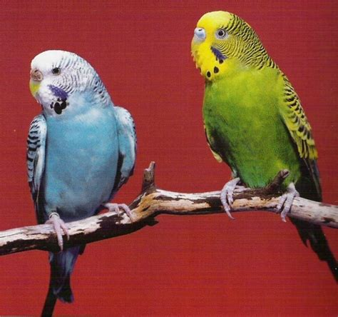riproduzione cocorite in gabbia cocorite uccelli esotici allevare le cocorite