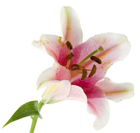fiore giglio giglio fiore come coltivarli e moltiplicarli con le