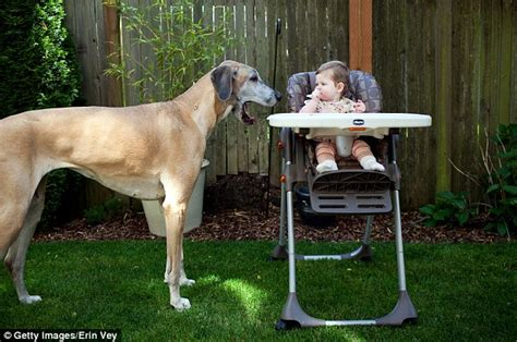 how are puppies when they open their ghananation s best friend adorable photographs of big dogs treating